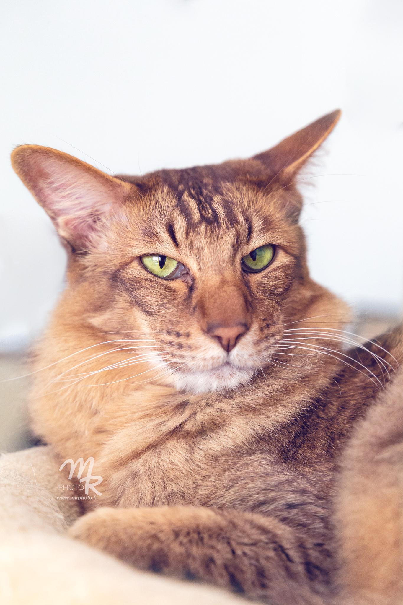 itämainen lyhytkarva kissa